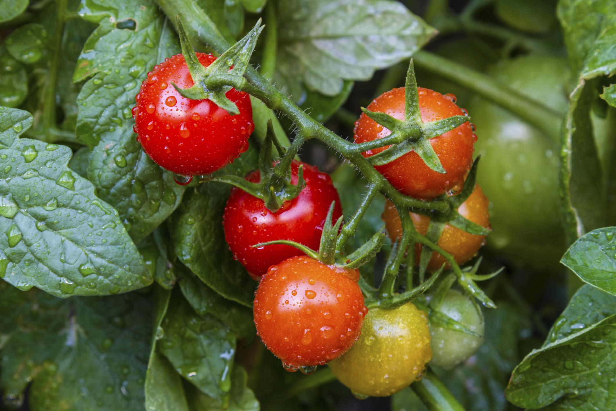 celle elettrochimiche alimentate da pomodori scartati per generare elettricità